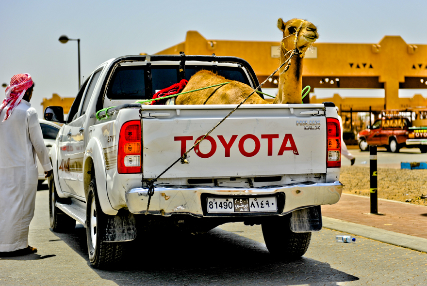 Camel for sale